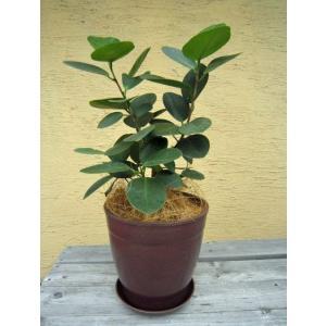 観葉植物 オオバンボダイジュ 鉢花 ブラウン 7号 インテリアプランツ エコ|vg-harada
