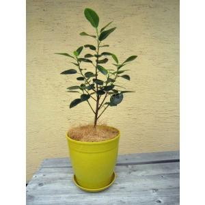 観葉植物 フランスゴム 鉢花 イエロー 7号 インテリアプランツ エコ|vg-harada