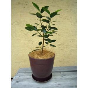 観葉植物 フランスゴム 鉢花 ブラウン 7号 インテリアプランツ エコ|vg-harada