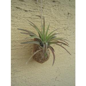 観葉植物 ASADAMA 麻玉 チランジア(エアプランツ) B|vg-harada