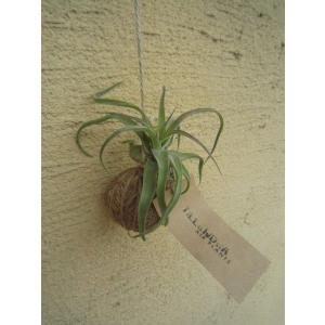 観葉植物 ASADAMA 麻玉 チランジア(エアプランツ) C|vg-harada