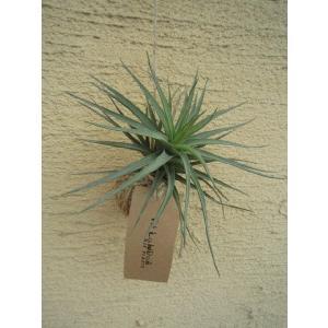 観葉植物 ASADAMA 麻玉 チランジア(エアプランツ) D|vg-harada