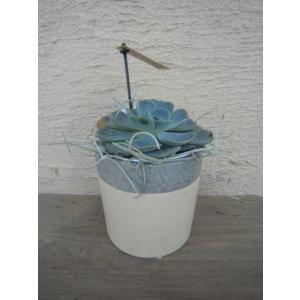 多肉植物 ヴェイン ストレート Dタイプ ARTh SUCCULENTS|vg-harada