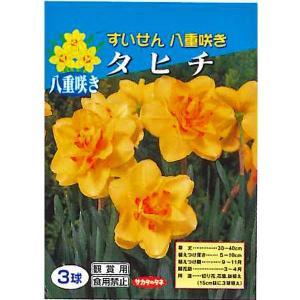 花・球根 八重咲きすいせん スイセン 水仙(タヒチ)3球入[秋植え球根]|vg-harada