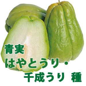 野菜・種/苗 青実はやとうり 千成うり 千成瓜 隼人瓜 ハヤトウリ  種・生もの種 2個入り|vg-harada