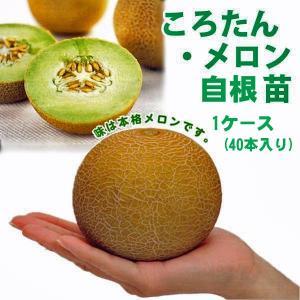 お買い得!野菜の苗 ころたん・メロン コロタン 自根苗 1ケース(40本入り)   |vg-harada