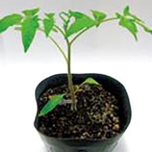 野菜の種/種子 フレンドシップ・台木トマト 1000粒 (メール便可能/大袋)サカタのタネ|vg-harada