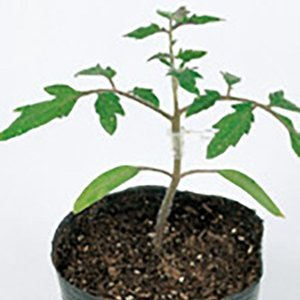 野菜の種/種子 ブロック・台木トマト 1000粒(メール便発送/大袋)サカタのタネ 種苗|vg-harada