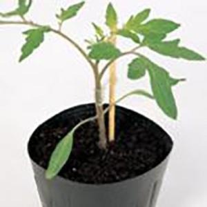 野菜の種/種子 サポート・台木トマト 1000粒(メール便発送/大袋)サカタのタネ 種苗|vg-harada