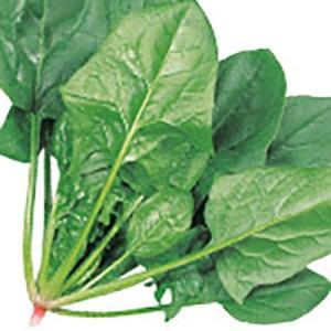 野菜の種/種子 アトラス・ほうれんそう M・3万粒(大袋)サカタのタネ|vg-harada