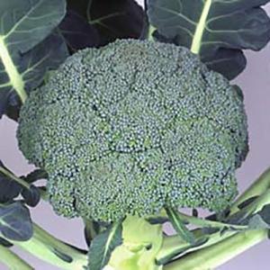 野菜の種/種子 グランドーム ブロッコリー ペレット5000粒(大袋)サカタのタネ 種苗|vg-harada