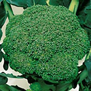 野菜の種/種子 緑嶺 ブロッコリー ペレット5000粒(大袋)サカタのタネ 種苗|vg-harada