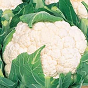 野菜の種/種子 バロック カリフラワー ペレット5000粒(大袋)サカタのタネ|vg-harada
