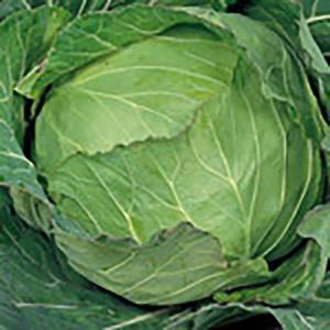野菜の種/種子 金春 キャベツ ペレット5000粒缶入(大袋)サカタのタネ 種苗|vg-harada