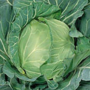 野菜の種/種子 金系201号 キャベツ 2000粒(大袋)サカタのタネ 種苗|vg-harada