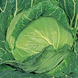 野菜の種/種子 金系201EX キャベツ 2000粒(大袋)サカタのタネ 種苗|vg-harada