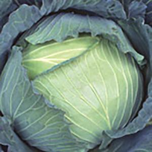 野菜の種/種子 冬藍 キャベツ スイートらら 2000粒(大袋)サカタのタネ 種苗|vg-harada