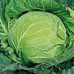 野菜の種/種子 中早生二号 キャベツ ペレット5000粒(大袋)サカタのタネ|vg-harada
