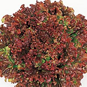 野菜の種/種子 なんそうべに サニーレタス ペレット5000粒(大袋)サカタのタネ|vg-harada
