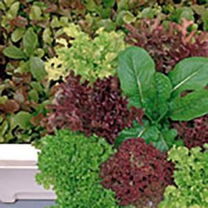 野菜の種/種子 ガーデンレタスミックス サニーレタス 20ml(メール便可能)サカタのタネ|vg-harada