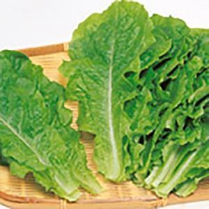 野菜の種/種子 チマ・サンチュ 青かきチシャ 20ml(メール便可能)サカタのタネ vg-harada
