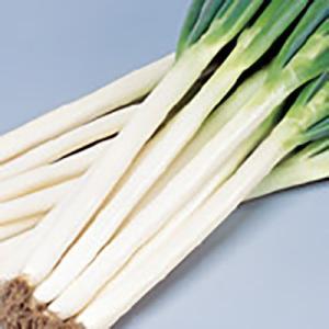 野菜の種/種子 夏扇パワー ねぎ 1dl(メール便可能)サカタのタネ|vg-harada