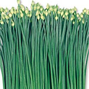 野菜の種/種子 テンダーポール 花ニラ 20ml(メール便可能)サカタのタネ|vg-harada