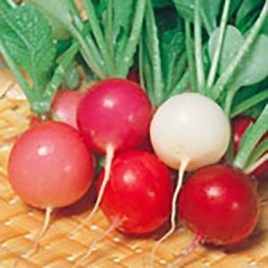 野菜の種/種子 カラフルファイブ 二十日大根 2dl(大袋)サカタのタネ|vg-harada