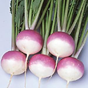 野菜の種/種子 あやめ雪 カブ 10ml(メール便可能)サカタのタネ|vg-harada