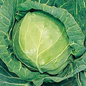 野菜の種/種子 アーリーボール キャベツ 1ml(メール便可能)サカタのタネ 種苗|vg-harada