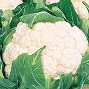 野菜の種/種子 バロック カリフラワー 1ml(メール便可能)サカタのタネ|vg-harada