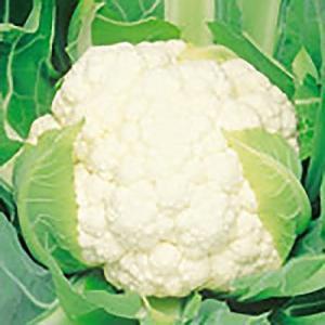 野菜の種/種子 ブライダル カリフラワー 1ml(メール便可能)サカタのタネ|vg-harada