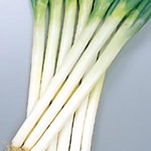野菜の種/種子 冬扇2号 ねぎ 3.5ml(メール便可能)サカタのタネ|vg-harada