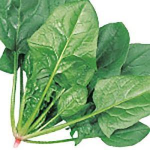 野菜の種/種子 アトラス ほうれんそう 25ml(メール便発送)サカタのタネ 種苗|vg-harada