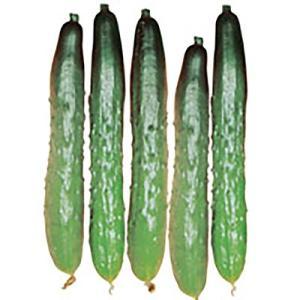 野菜の種/種子 霜しらず地這 きゅうり 3ml(メール便可能)サカタのタネ|vg-harada