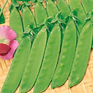 野菜の種/種子 絹小町 えんどう 20ml(メール便発送)サカタのタネ 種苗|vg-harada
