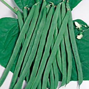 野菜の種/種子 王湖 つるありいんげん 26ml(メール便可能)サカタのタネ|vg-harada