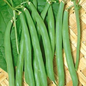 野菜の種/種子 セリーナ つるなしいんげん 30ml(メール便可能)サカタのタネ|vg-harada