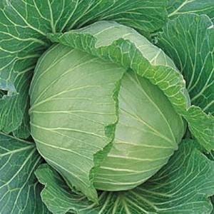 野菜の種/種子 初秋 キャベツ 150粒(メール便発送)タキイ種苗|vg-harada