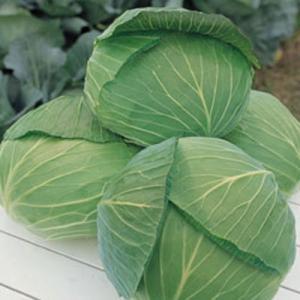 野菜の種/種子 おきな キャベツ 2000粒(メール便可能)タキイ種苗|vg-harada