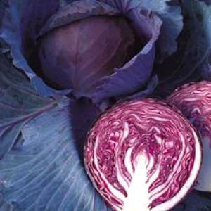 野菜の種/種子 ルビーボールSP・レッドキャベツ 2000粒(大袋)タキイ種苗|vg-harada