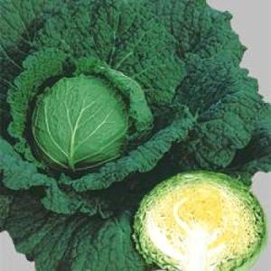 野菜の種/種子 サボイエースSP・サボイキャベツ 180粒(メール便可能)タキイ種苗|vg-harada