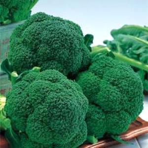 野菜の種/種子 チャレンジャー・ブロッコリー 20ml(メール便発送)タキイ種苗|vg-harada