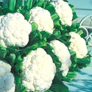 野菜の種/種子 スノークラウン・カリフラワー 20ml(メール便可能)タキイ種苗|vg-harada