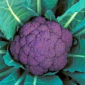 野菜の種/種子 バイオレットクイン・紫カリフラワー 20ml(メール便可能)タキイ種苗|vg-harada