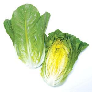 野菜の種/種子 ロマリア(ロメインレタス)・レタス 5000粒(大袋)タキイ種苗|vg-harada