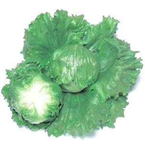 野菜の種/種子 スターレイ・レタス ペレット5000粒(大袋)タキイ種苗|vg-harada