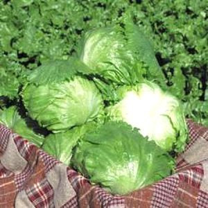 草勢旺盛で外葉数が多く、低温期における肥大性はいたって良好で、形状安定性も併せ持ちます。厳寒期どりで...