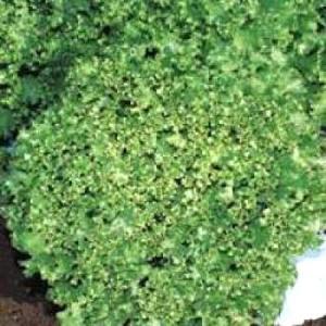 晩抽・耐暑性にすぐれ、高温期栽培を中心に播種期の幅が広いグリーンリーフです。草勢は旺盛で病害に強く、...