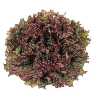 野菜の種/種子 レッドファイヤー・リーフレタス 20ml(メール便発送)タキイ種苗|vg-harada